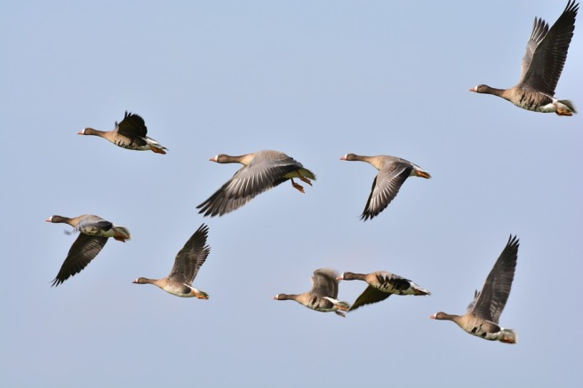 wild-geese-278987_960_720