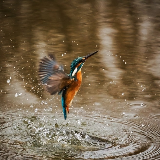 kingfisher-1068684_960_720