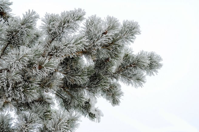 pine-1911152_960_720