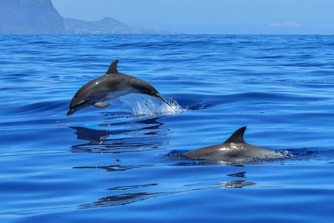 dolphin-2691864_960_720.jpg