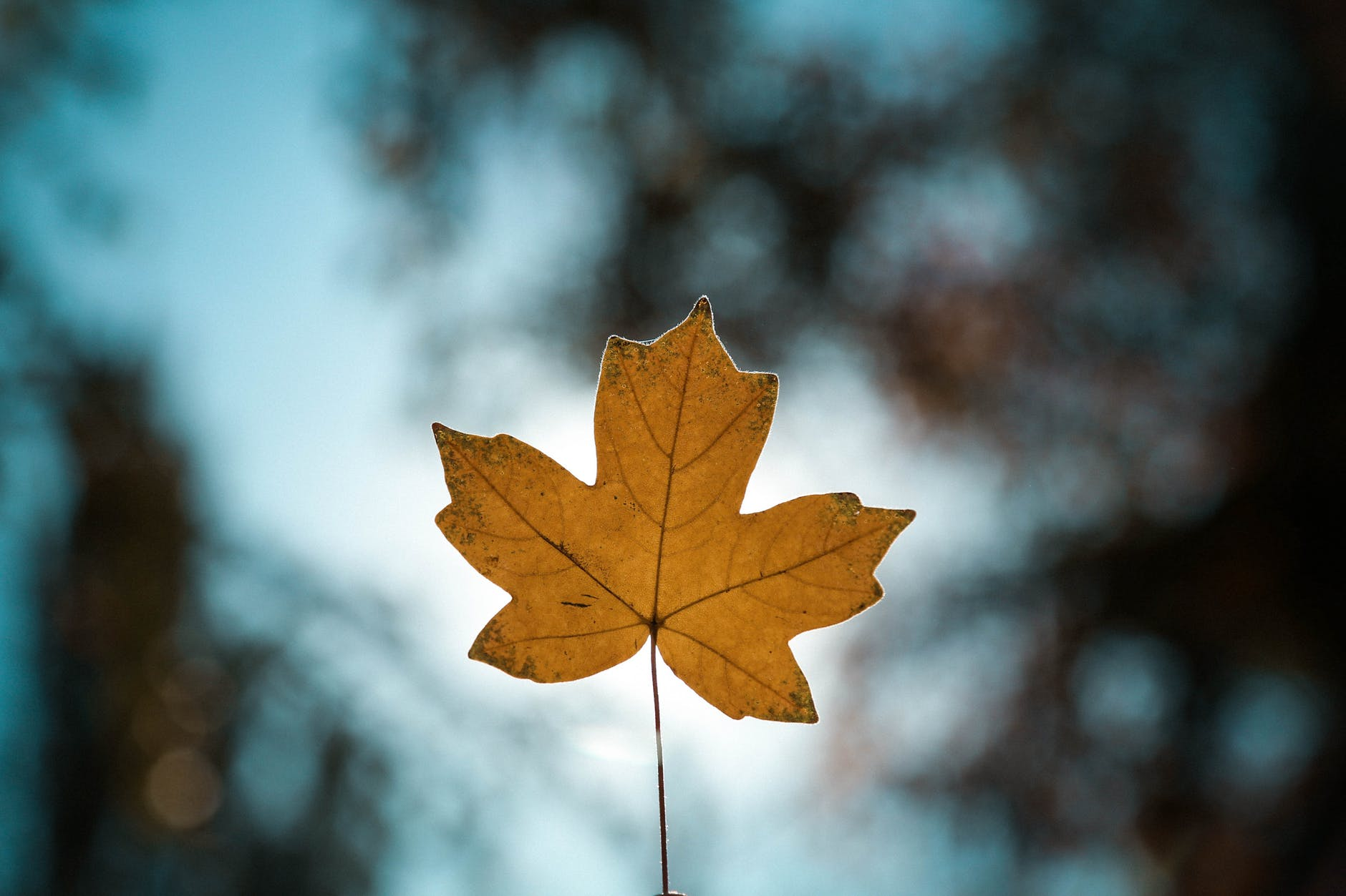 close up photo of maple leaf